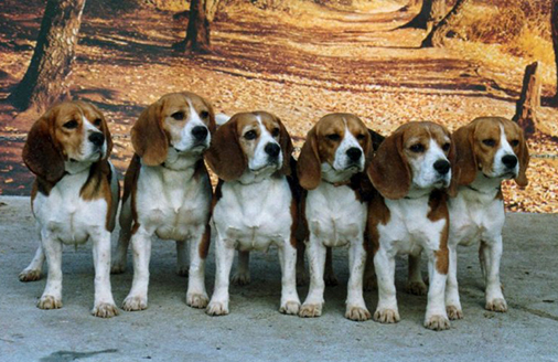 club de race beagle